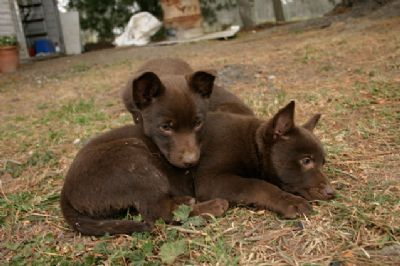Kelpie Puppies For Sale Northern Nsw