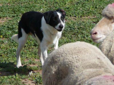 Albury Wodonga Dogs For Sale