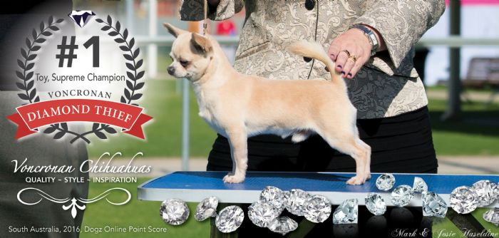 Australia's number 1 Chihuahua, South Australia's number 1 Toy (DOLPS2016)