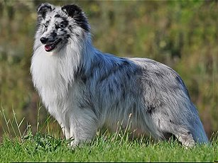 Blue Merle without tan markings