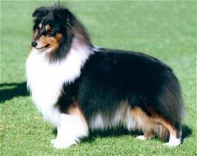 Tricolour Sheltland Sheepdog