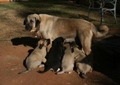 Kangal puppies Australia