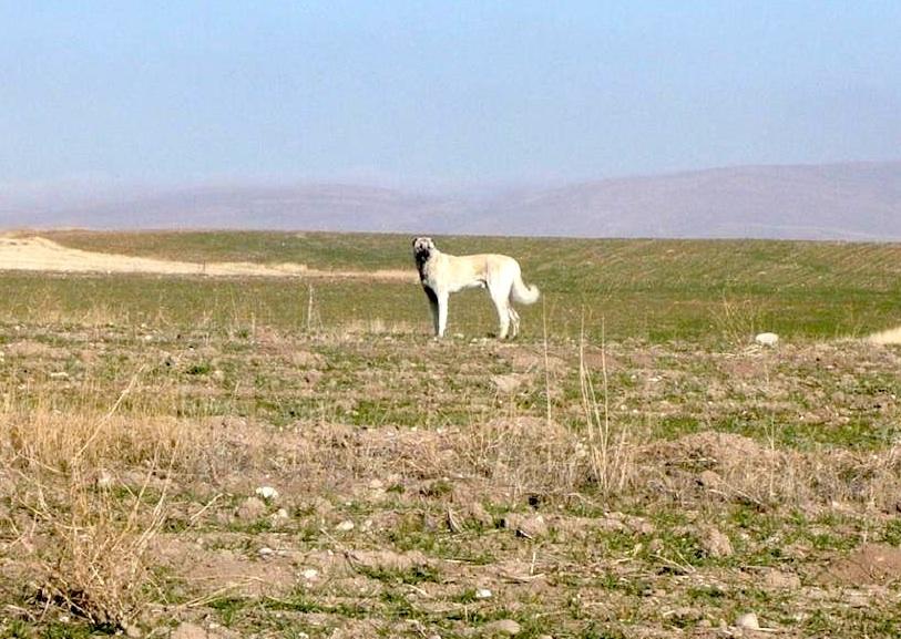 Kangal Dog in Sivas