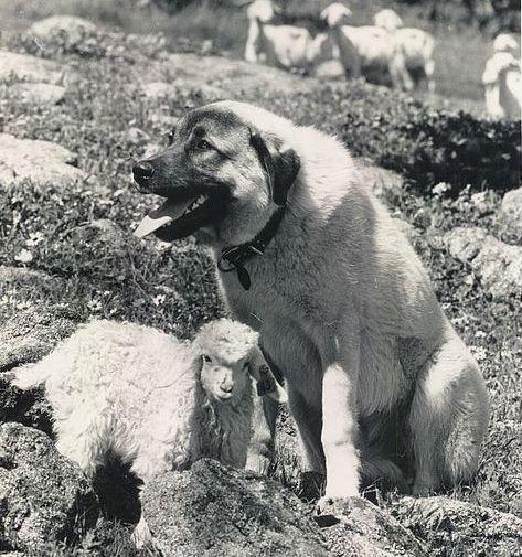 Historical Anatolian Karabash with sheep in Australia