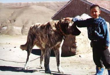 brindle Turkish Shepherd Dog Takas